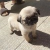 pug smith puppies's picture
